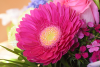 Close-up of a Gerbera × hybrida in a bouquet 11030049267| 写真素材・ストックフォト・画像・イラスト素材|アマナイメージズ