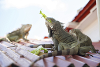 Green iguanas eating lettuce on rooftop, Sint Maarten, Netherlands Antilles, Caribbean