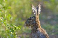 European Brown Hare (Lepus europaeus) in Summer, Hesse, Germany