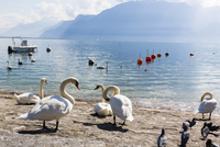Mute Swans (Cygnus olor) by Lake Geneva in front of the Alps, Vevey, Canton of Vaud, Switzerland