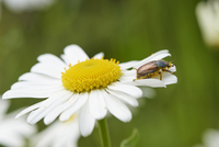 Close-up of a small beetle on a ox-eye daisy (Leucanthemum vulgare) blossom in early summer, Upper Palatinate, Bavaria, Germany
