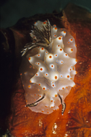 Halgerda Carlsoni Nudibranch on Coral, Madagascar