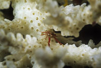 Small Crab on Dead Coral, Madagascar