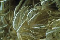 Pulse Coral, Madagascar