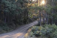 Dirt Road through Forest, Liffey Falls State Reserve, Tasmania, Australia