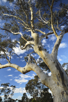 Gum Tree, Blue Mountains National Park, Blue Mountains, UNESCO World Heritage Area, New South Wales, Australia