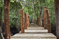 Forest Walk, Mangrove Swamp, Zanzibar, Tanzania