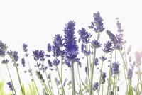 Close-up of Lavender 11030050207| 写真素材・ストックフォト・画像・イラスト素材|アマナイメージズ