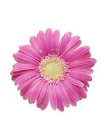Pink Gerbera Daisy 11030050272| 写真素材・ストックフォト・画像・イラスト素材|アマナイメージズ