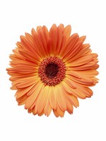Orange Gerbera Daisy 11030050274| 写真素材・ストックフォト・画像・イラスト素材|アマナイメージズ
