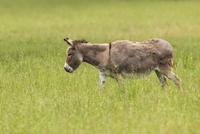 Donkey in Field, Bavaria, Germany