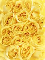 Bundle of Roses 11030050476| 写真素材・ストックフォト・画像・イラスト素材|アマナイメージズ