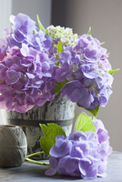 Hydrangeas in Bucket 11030050507| 写真素材・ストックフォト・画像・イラスト素材|アマナイメージズ
