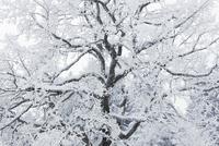 Tree Branches, Holzkirchen, Miesbach District, Bavaria, Germany 11030050637| 写真素材・ストックフォト・画像・イラスト素材|アマナイメージズ