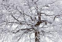 Oak Tree, Lake Starnberg, Bavaria, Germany 11030050638| 写真素材・ストックフォト・画像・イラスト素材|アマナイメージズ