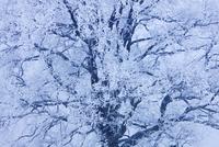 Oak Tree, Lake Starnberg, Bavaria, Germany 11030050639| 写真素材・ストックフォト・画像・イラスト素材|アマナイメージズ
