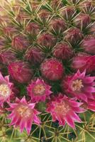 Cactus Flowers, Elounda, Agios Nikolaos, Lasithi, Crete, Greece
