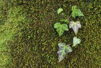 Ivy and Moss, Niedernach, Walchensee, Bavaria, Germany 11030050719| 写真素材・ストックフォト・画像・イラスト素材|アマナイメージズ