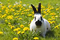 English Spot Rabbit on Lawn with Dandelions 11030051100| 写真素材・ストックフォト・画像・イラスト素材|アマナイメージズ