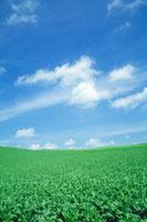 畑と青空 (ビート畑)
