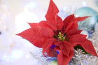 クリスマス飾りのポインセチア