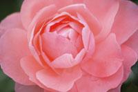 バラ 11031028517| 写真素材・ストックフォト・画像・イラスト素材|アマナイメージズ