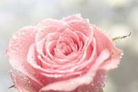 バラと水滴