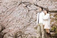 桜の下で腕を組んで歩くカップル