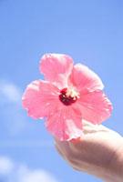 ハイビスカスの花を持つ女性の手元