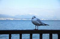 琵琶湖畔のユリカモメ