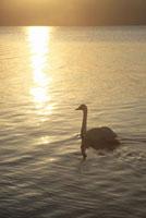 湖面の夕日と白鳥