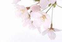サクラ 白バック 11031055468| 写真素材・ストックフォト・画像・イラスト素材|アマナイメージズ