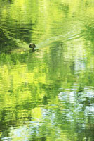 水面に写る新緑と鴨