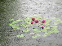 雨に打たれる公園の睡蓮 11031058549| 写真素材・ストックフォト・画像・イラスト素材|アマナイメージズ