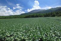 高原キャベツ畑と浅間山