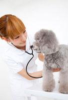 トイプードルを診察する動物看護師