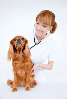 キャバリアを診察する動物看護師