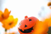 黄花コスモスとジャックオランタン 11031062232| 写真素材・ストックフォト・画像・イラスト素材|アマナイメージズ