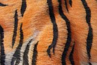 トラの剥製の胴体の縞模様