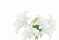 ユリの花 11031064261| 写真素材・ストックフォト・画像・イラスト素材|アマナイメージズ