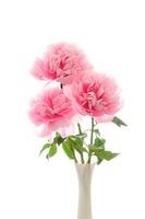 芍薬の花 11031071292| 写真素材・ストックフォト・画像・イラスト素材|アマナイメージズ