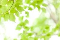 新緑の葉 11031071869| 写真素材・ストックフォト・画像・イラスト素材|アマナイメージズ