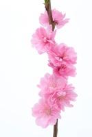 花桃 11031072915| 写真素材・ストックフォト・画像・イラスト素材|アマナイメージズ