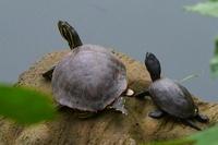 池の石の上で甲羅干しする亀の親子