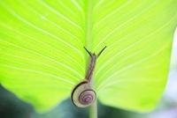 カラーの葉に乗るカタツムリ