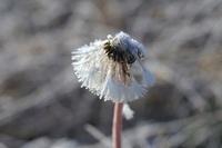 霜の付いたタンポポの綿毛