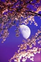 夜桜と月 11031079248| 写真素材・ストックフォト・画像・イラスト素材|アマナイメージズ