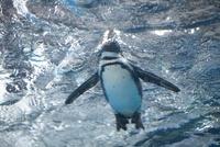 泳ぐケープペンギン