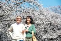桜の下を散歩するシニアカップル
