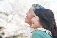 桜を眺めるシニアカップル